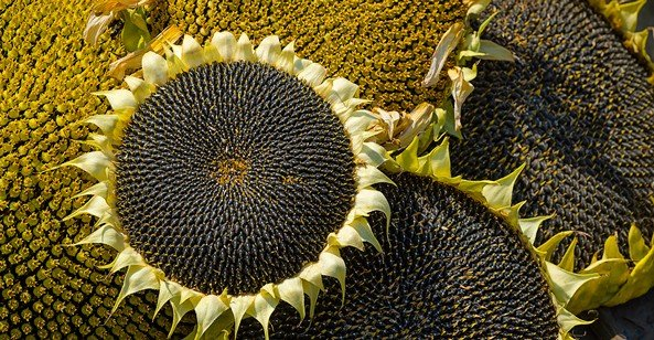 The spiral arrangements of seeds on a sunflower provides a model for optimum arrangement of heliostats in a concentrated solar plant. Photo © iStockphoto.com/undefined_undefined